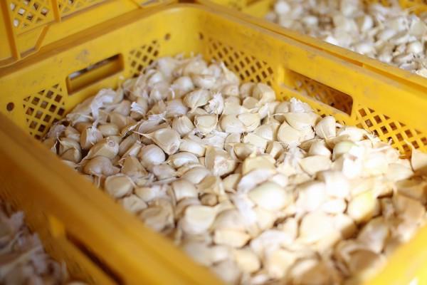 収穫したニンニクを加工